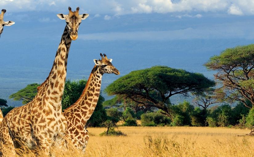 Lamentable; Jirafas entran en la lista de animales en peligro deextinción